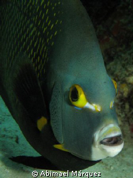 Gray Angelfish, Bonaire 2008 by Abimael M&#225;rquez 
